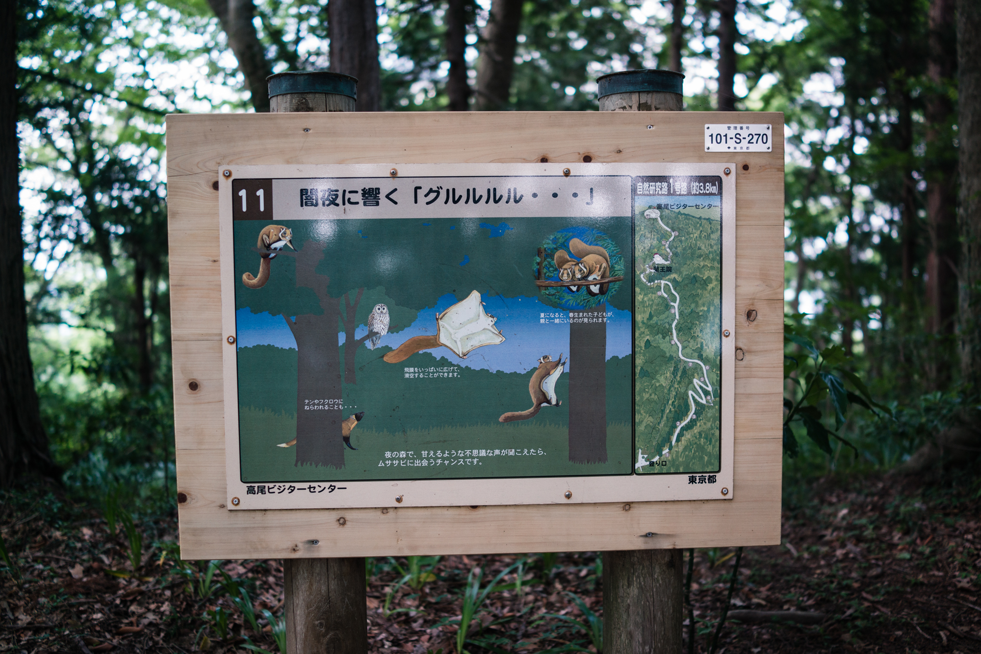 Flying Squirrels on Mt. Takao