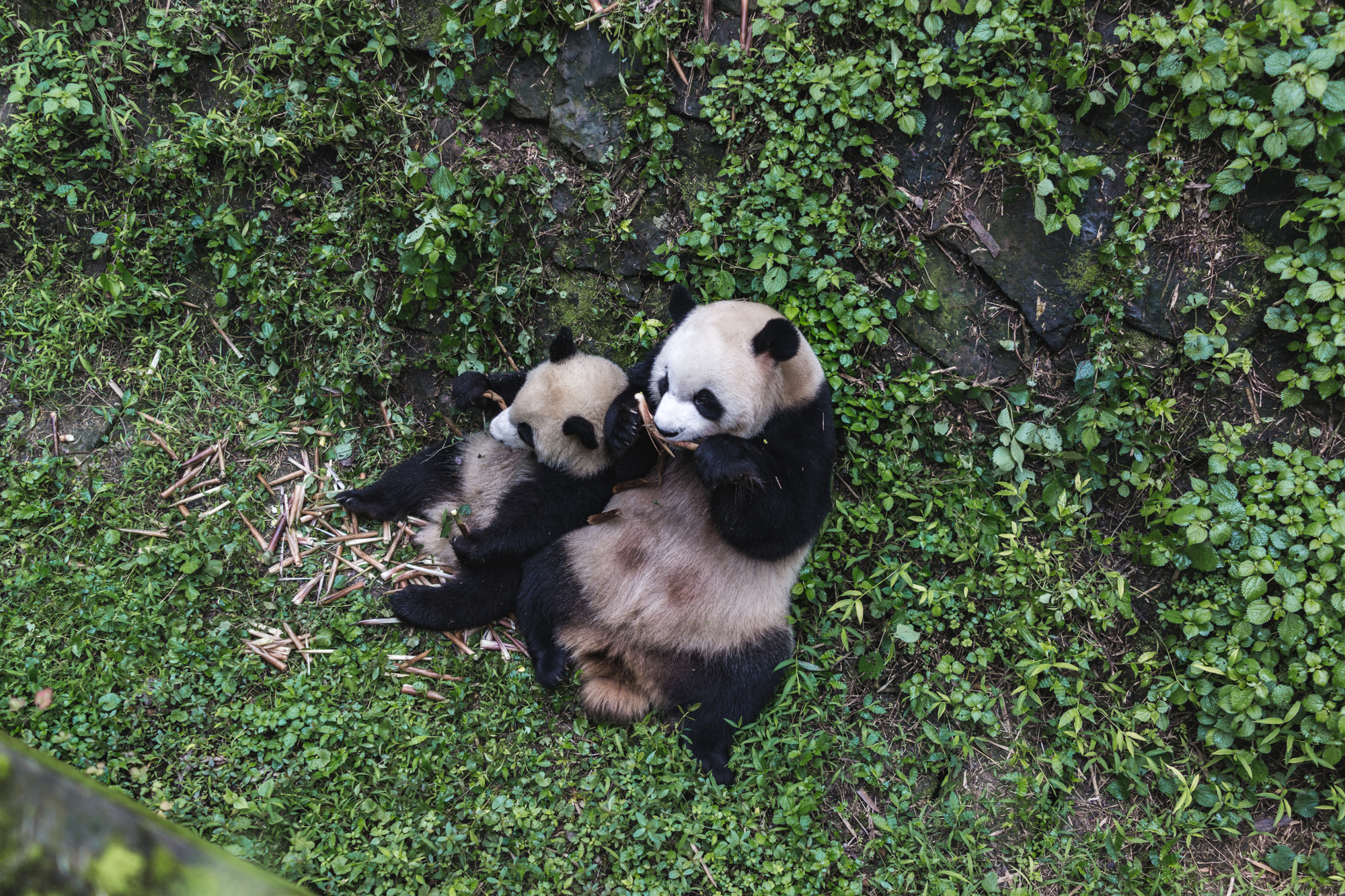 Panda Research Center in Chengdu China